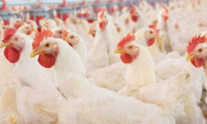 Overcharged For Chicken Scam (September) Read The Complete Details!