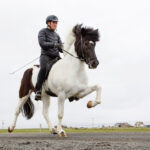 How Many Gaits Does an Icelandic Horse Have (September) Know The Exciting Detail!
